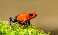 Blue-jeans frog or Strawberry poison-dart frog
