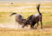 Fighting Wildebeest males