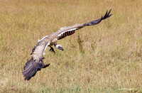 White-backed Vulture - Gyps africanus