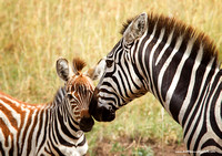 Zebra female and foal