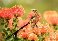 Cape Sugarbird - Promerops cafer