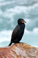 Crowned Cormorant - Microcarbo coronatus