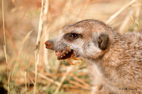 Meerkat eating a scorpion