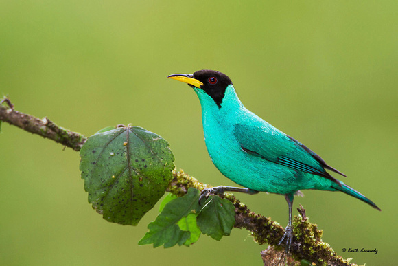 Green Honeycreeper (Chlorophanes spiza), male