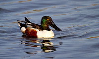 Male Northern Shoveler in breeding plumage, Horicon NWR, Wisconsin