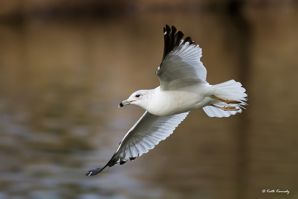 Ring-billed Gull, Bond Metro Park, Wake Co., Cary, NC