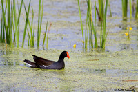 Common Moorhen, Horicon NWR, Wisconsin