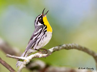 Yellow-throated Warbler, Wyalusing State Park, Wisconsin