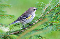 Yellow-rumped Warbler, fall migration