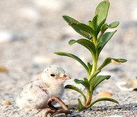 Least Tern chick, Sternula antillarum