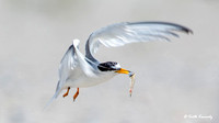 Least Tern adult, Sternula antillarum