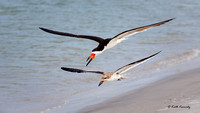 Black Skimmer adult and juvenile, Rynchops niger