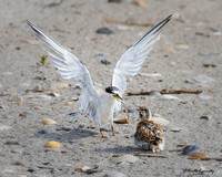 Least Tern adult feeding chick, Sternula antillarum