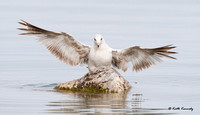 Ring-billed Gull, Lake Michigan