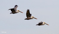 Brown Pelican: 'Three Amigos'