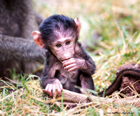 Olive Baboon baby