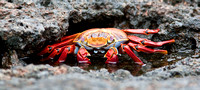 Sally Lightfoot Crab, Pinnacle Rock, Bartolome Island