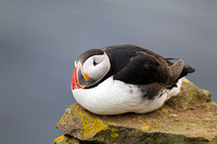 Atlantic Puffin - Fratercula arctica