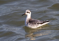 Red Phalarope, South Metro Pier, Oak Creek, WI