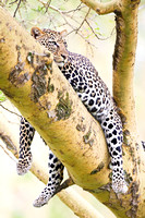 Leopard in tree, Lake Nakuru