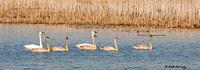 Trumpeter Swan Family, Hwy 49,  Horicon NWR, Dodge Co., WI