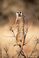 Meerkat--acting as a sentinel for the colony