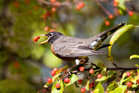 American Robin with crabapple berry