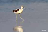 American Avocet, Falls Lake State Recreation Area, Durham County, NC
