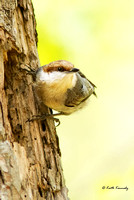 Brown-headed Nuthatch, Lake Crabtree County Park, Wake County, Morrisville, NC