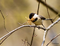 Carolina Chicadee with nesting material, Lake Crabtree County Park, Wake County, Morrisville, NC