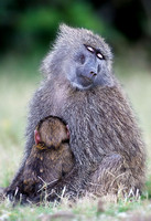 """Mother and child"" Olive Baboons"