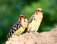 Red-and-yellow Barbets, Lake Baringo