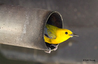 Prothonotary Warbler in exhaust pipe of a Chevy Truck, Wyalusing State Park, Wisconsin