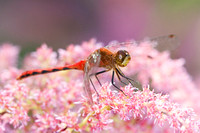 Dragonfly on Astilbe