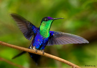Violet-crowned Woodnymph, Rancho Naturalista, Costa Rica