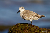 Sanderling, North Beach, Racine, WI