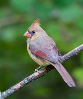 Northern Cardinal, juvenile female