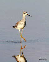 Lesser Yellowlegs,Falls Lake State Recreation Area, Durham County, NC