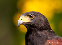 """Cysco"", Harris's Hawk, Schlitz Audubon Nature Center (captive animal)"