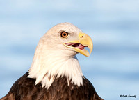 """Glory"" Bald Eagle, Schlitz Audubon Nature Center (captive animal)"