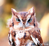 """Ochre"" Screech Owl, Schlitz Audubon Nature Center (captive animal)"