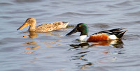 Northern Shovelers, female (L), male (R), Horicon NWR, Wisconsin