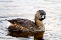 Pied-billed Grebe, Horicon NWR, Wisconsin