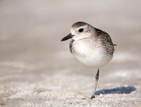 Black-bellied Plover, Green Key, Florida