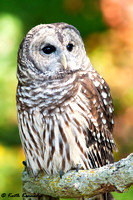 """Orion"", Barred Owl, Schlitz Audubon Nature Center (captive animal)"