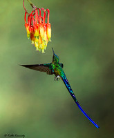 Violet-tailed Sylph - Aglaiocercus coelestis