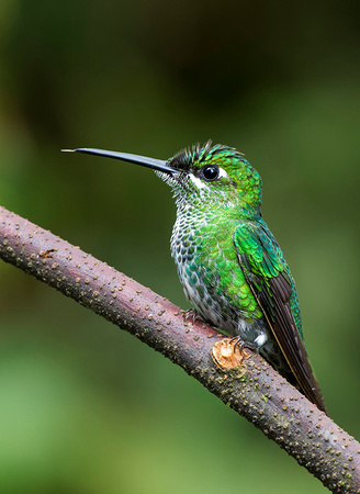 Green-crowned Brilliant female - Heliodoxa jacula