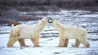 Polar Bear males sparring