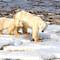Polar Bear female with first year cub