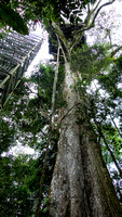 Canopy Tower atop 100 ft Kapok Tree